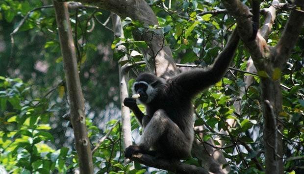 Hasil Pemulangan dari Inggris, Sepasang Owa Jawa ini Dilepasliarkan di Gunung Tilu