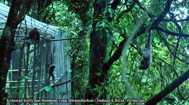 Satu Keluarga Owa Jawa Dipulangkan ke Habitatnya di Hutan Lindung Malabar