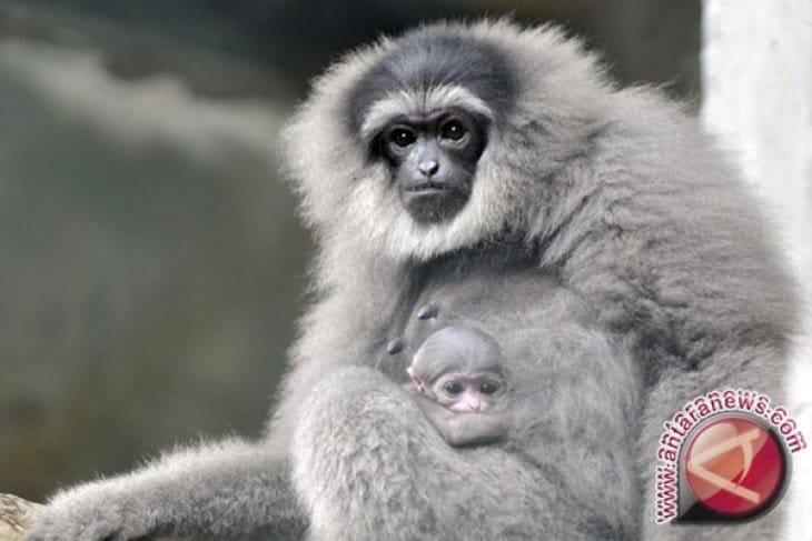 Dua Pasangan Owa Jawa Ini Akhirnya Pulang ke Habitatnya di Gunung Malabar