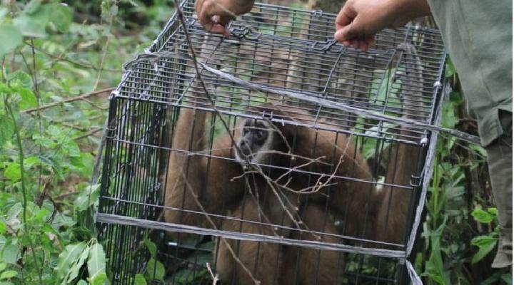 Owa Serudung dan Siamang Hasil Pengamanan Dilepasliarkan di Hutan Aceh Jaya