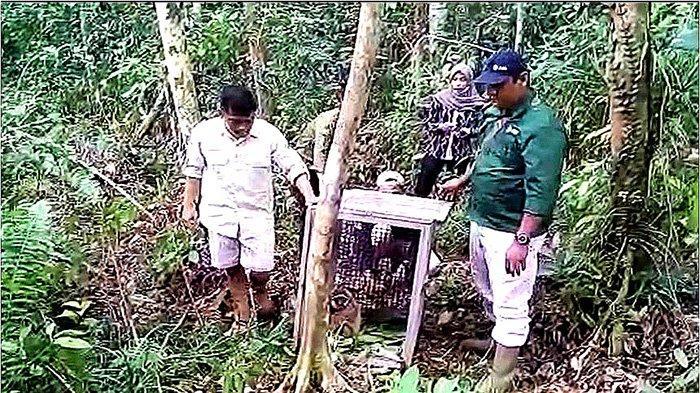 Owa Endemik Kalimantan Dilepasliarkan di Tanjung Sekuting