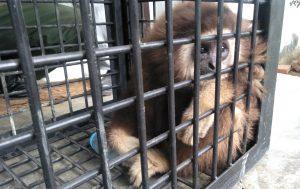 Owa Serudung Diserahkan Secara Sukarela ke BKSDA Aceh