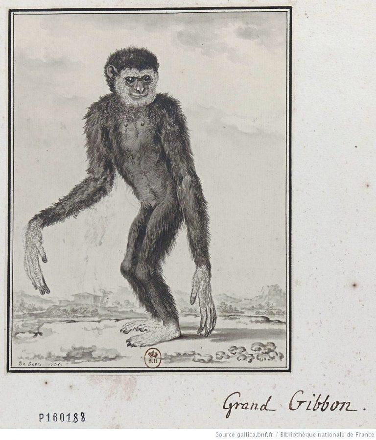 asal kata gibbon